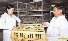 四川南江县养鸡专业合作社借鸡还鸡帮助农户走上致富路