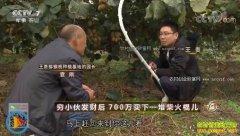 [致富经]四川苍溪县穷小伙王贵种植猕猴桃创业致富