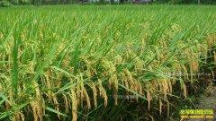 上海奉贤区陈登峰返乡种水稻年入七八十万元