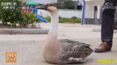 [每日农经]江西都昌县:飞不走的大雁养殖有商机