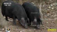 [每日农经]爱游泳的安徽金寨黑毛猪市场吃香