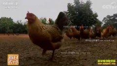 [每日农经]趁天黑才能抓的海南山鸡不愁卖