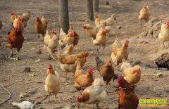 贵州晴隆县大学生王箭养土鸡创业走上致富路