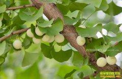 四川阆中:种植银杏树亩收益5000元成农民致富好项目