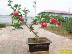 """陕西洛川:""""洛川苹果""""盆景种植效益好订单不断"""