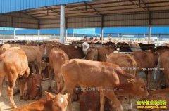 吉林桦甸市大学生李宏峰山泉养牛带富一方百姓