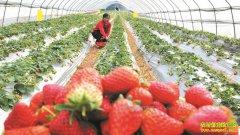 今年草莓价格较2017年同期每斤便宜7-8元