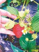 怎样拓宽草莓销售渠道?选好物流和平台冬草莓销售有通道