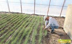 内蒙古阿拉善韩文军大棚种植沙葱好致富