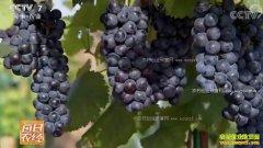 [每日农经]云南蒙自:一亩地能卖三十几万元的葡萄