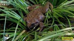 [每日农经]福建德化:冬天卖蛙为啥多赚钱