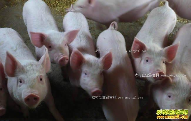 2018年养殖业什么项目最赚钱-养猪