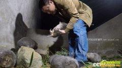 [致富经]四川平昌县蒲骏独居深山养竹鼠实现财富逆转