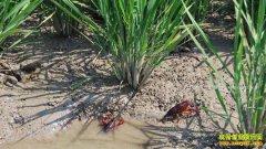 安徽宣城:水稻+龙虾生态种养效益顶呱呱