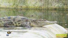 [每日农经]北京平谷:一举多得养鳄鱼