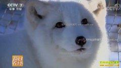 [每日农经]养殖不怕冷的北极狐能赚钱