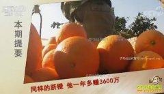 [致富经]同样的脐橙 江西瑞金黄小红种脐橙一年多赚3600万