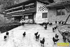 重庆黔江金银香林下养土鸡增收万元