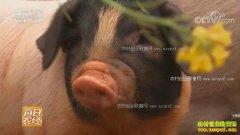[每日农经]湖南永州:靠山吃山的东安土猪长得壮