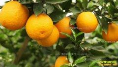 湖南永兴县67岁老人曹戊生创业网上卖橙子