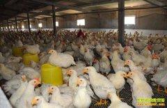 肉鸡价格上涨 专家预测肉食毛鸡好行情将持续超过一个月