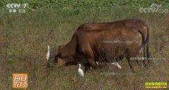 """[每日农经]海南:放养的""""肥牛""""效益高"""