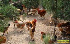 陕西铜川大学生王德峰返乡创业林下养鸡年赚十多万元
