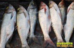 重庆大渡口鲢鱼价格上涨两成