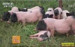 农广天地:河北唐山张立霞的香猪养殖致富经
