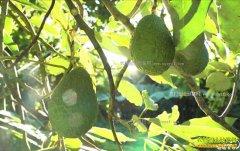 [致富经]云南孟连县祁家柱种植鳄梨创造千万财富