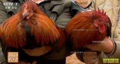 [每日农经]云南文山鸡好斗闯市场