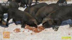 [每日农经]甘肃徽县走出大山的青泥黑猪