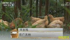 [农广天地]广东信宜怀乡鸡养殖技术视频