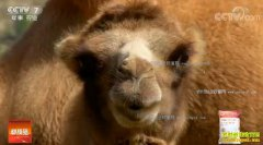 [科技苑]内蒙古戈壁养骆驼有新招