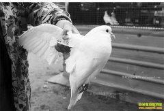 肉鸽需求量上升 今年养鸽子前景和成本效益如何?