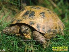 果园养龟效益高 怎样在果园养龟?