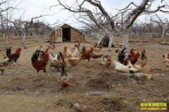 重庆丰都雷淑容阶梯式养鸡每月都有鸡出栏
