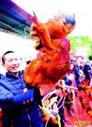 """四川华蓥庆华镇:土鸡""""选美""""带动养殖土鸡产值2100万元"""