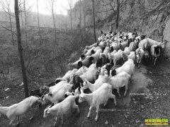 河南荥阳无臂羊倌曹建新养羊年入3万元脱贫致富