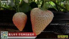 [科技苑]数九寒冬 郭红军把大棚草莓种出新花样
