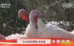 [科技苑]鸡恋爱 人帮忙 大火鸡养殖出奇招