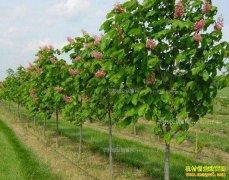 苗木市场复苏 今年种植苗木能赚钱吗?