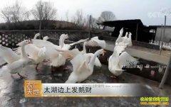 [农广天地]江苏苏州陆火林太湖边上养太湖鹅发鹅财