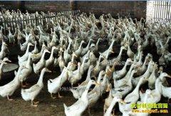 安徽望江肉鸭一体化养殖好赚钱 建1个鸭棚养鸭2万只年利润12-15万