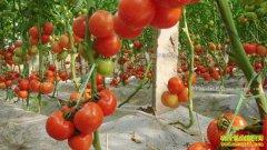 大棚西红柿坐不住果怎么办?