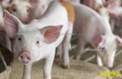 中草药怎样治疗猪病?中草药治疗猪病药方大全