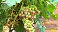 [每日农经]云南蒙自:换个地方种葡萄更赚钱