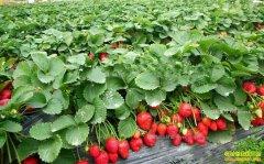 河南禹州宋春梅大棚种草莓效益高年入80万