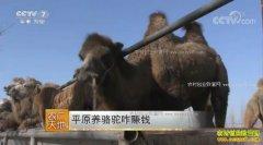 [农广天地]河北唐山郑林林平原养骆驼咋赚钱
