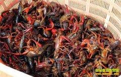 今年小龙虾养殖前景怎样?养殖面积猛增小龙虾价格会下跌吗?